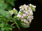 oreganoflower110724.JPG